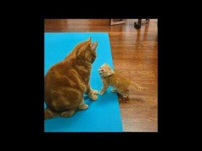 ¿Qué ocurre cuando un gato pierde la paciencia con un gatito?