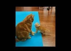 Enlace a ¿Qué ocurre cuando un gato pierde la paciencia con un gatito?