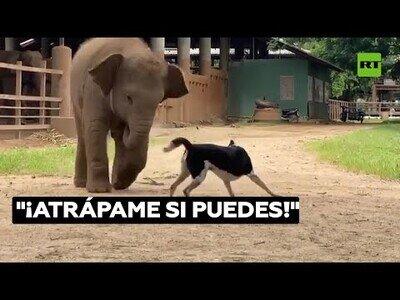 Un perro y un bebé elefante juegan al pilla pilla