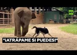 Enlace a Un perro y un bebé elefante juegan al pilla pilla