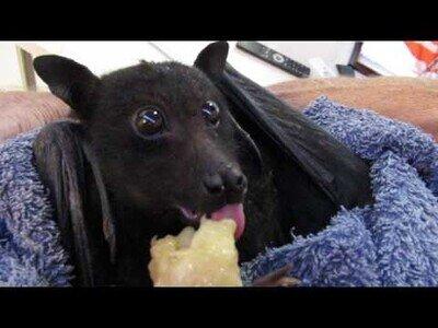 Un murciélago comiendo una banana es lo más adorable que verás hoy