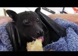 Enlace a Un murciélago comiendo una banana es lo más adorable que verás hoy