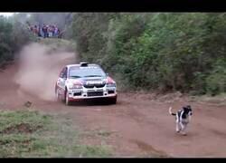 Enlace a Un coche de rallys salta por encima de un perro en plena carrera