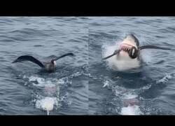 Enlace a Tiburón caza a un ave que reposaba en la superfície