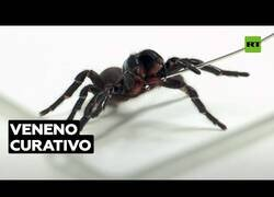 Enlace a El veneno de esta araña podría salvar vidas