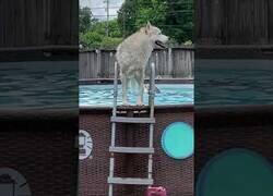 Enlace a Así se divierten estos huskies en la piscina
