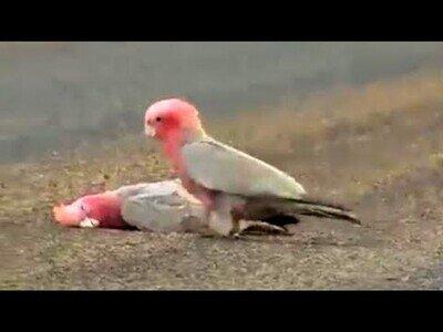 Una cacatúa se despide con un beso de su pareja fallecida