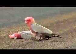 Enlace a Una cacatúa se despide con un beso de su pareja fallecida