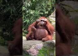 Enlace a Un orangután se pone unas gafas de sol que le cayeron a un visitante del zoo
