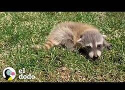 Enlace a Una mamá mapache se reencuentra con sus crías