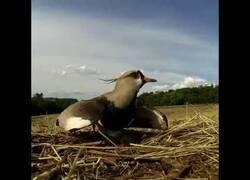 Enlace a Un pájaro protege sus huevos del paso de un tractor