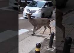 Enlace a Este ciervo respeta más los pasos de peatones que muchos humanos