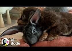 Enlace a Cuidando del conejo más pequeño del mundo