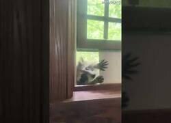 Enlace a Mapaches entrenados para entrar a robar en tu casa