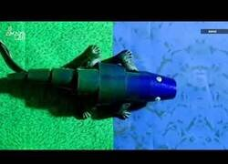 Enlace a Crean un camaleón artificial que cambia de color como los reales