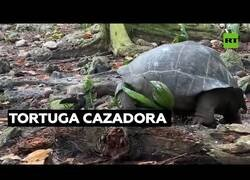 Enlace a Así caza una tortuga gigante a un pájaro