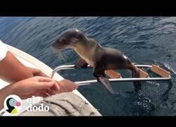 Enlace a Un león marino herido pide ayuda a unos navegantes