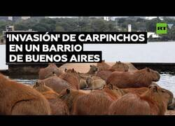Enlace a Centenares de carpinchos invaden un barrio en Buenos Aires