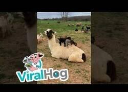 Enlace a Crías de cabra juegan con una llama como si fuese un trampolín