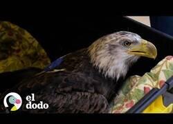 Enlace a Rescatistas ayudan a un águila calva a volver a volar