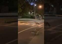 Enlace a Un coyote respeta el paso de peatones mejor que muchos humanos