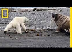 Enlace a Una madre de oso polar hambrienta comprueba si una morsa está viva