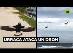 Enlace a Una urraca agresiva ataca a un dron