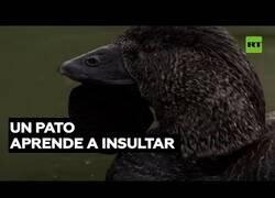 Enlace a Un pato aprende a insultar en inglés