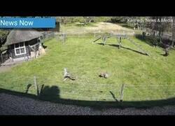 Enlace a Una cabra salva a una gallina del ataque de un halcón