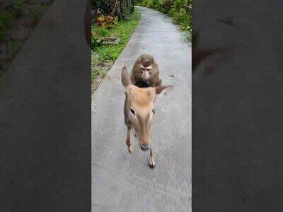 Un mono se da un paseo en ciervo