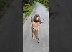 Enlace a Un mono se da un paseo en ciervo