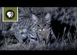 Enlace a El gato más mortífero del planeta
