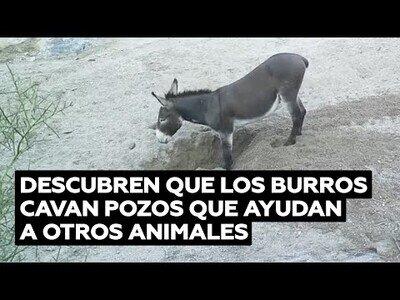 Descubren que los burros cavan pozos útiles para otros animales