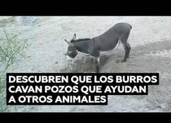 Enlace a Descubren que los burros cavan pozos útiles para otros animales