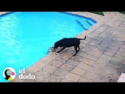 Un perro salva a otro que había caído a la piscina
