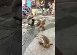 Enlace a Un mono ataca a un hombre con un cuchillo