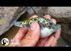 Enlace a Rescatando peces globo