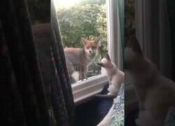 Enlace a Un zorro y un gatito interactúan a través de una ventana