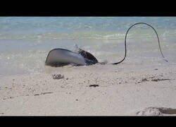 Enlace a Una manta raya sale del agua para escapar de un tiburón