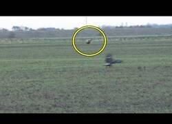 Enlace a El increíble salto de una liebre para escapar de un águila