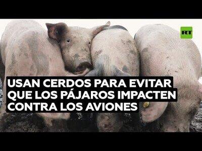 Usan cerdos para evitar que los pájaros choquen contra los aviones