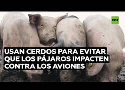 Enlace a Usan cerdos para evitar que los pájaros choquen contra los aviones