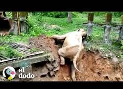 Enlace a Ayudan a este pequeño elefante a salir del agujero en el que había quedado atrapado