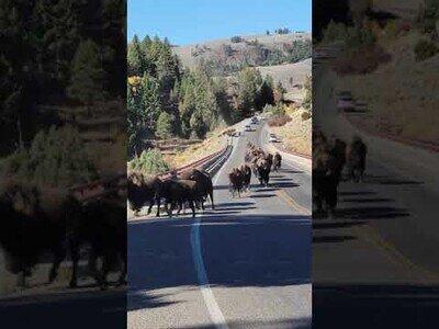 Una pareja corre huyendo de una manada de bisontes