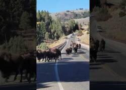 Enlace a Una pareja corre huyendo de una manada de bisontes