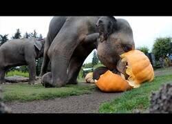 Enlace a Elefantes destrozando calabazas gigantes