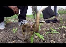 Enlace a Ayudan a una cobra atrapada en un foso