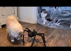 Enlace a Gatos reaccionan a una tarántula falsa