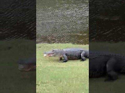 Un cocodrilo acaba con una partida de golf
