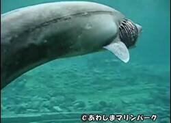 Enlace a Encuentran en Japón a un tiburón anguila, una especie de 80 millones de años de antigüedad y que creían extinta